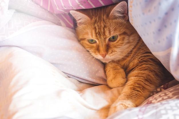 Anos do gato do gengibre na cama em um cobertor.