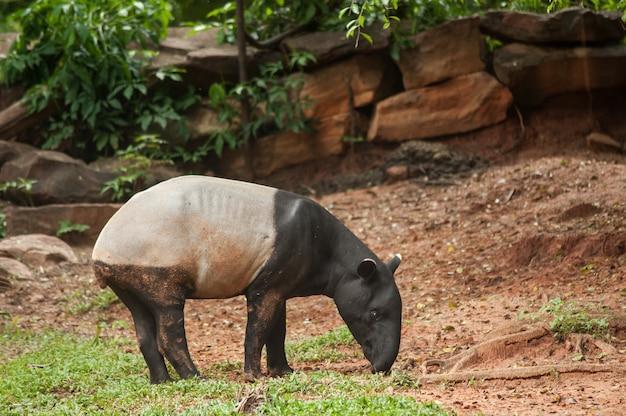 Anta malayan no jardim zoológico