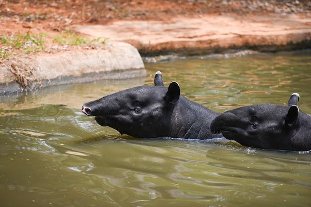 Anta nadando sobre a água no santuário de vida selvagem tapirus terrestris - malayan tapirus indicus