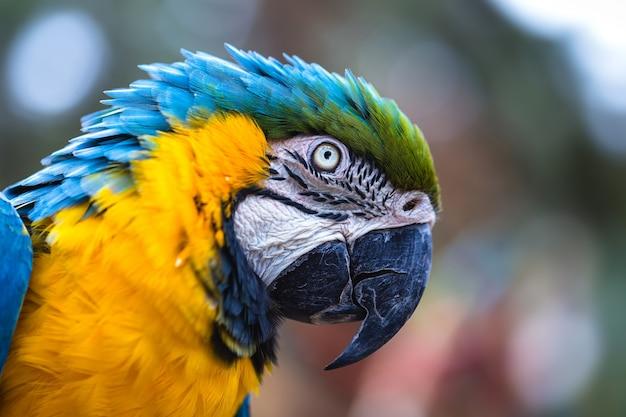 Antiga arara-brasileira com barriga amarela e azul, nativa da amazônia
