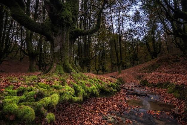 Antiga floresta de faias na espanha