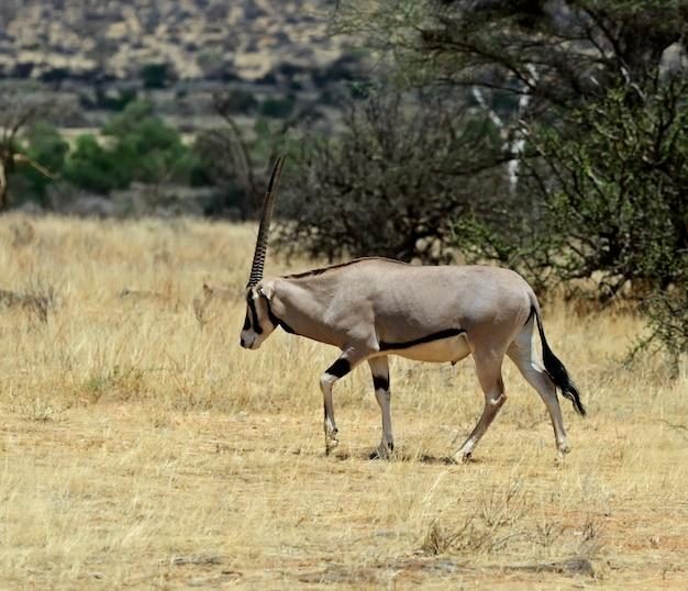 Antílope gemsbok (oryx gazella) correndo, deserto de kalahari, áfrica do sul
