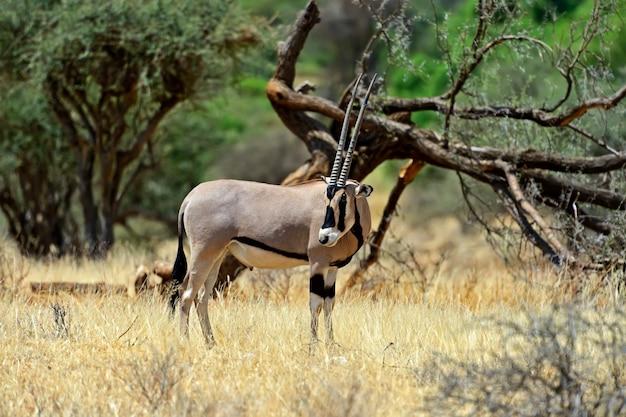 Antílope gemsbok (oryx gazella) correndo