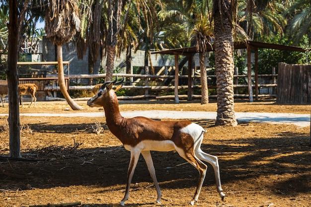 Antílope impala na reserva nacional