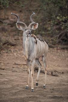 Antílope kudu com pequenos pássaros nas costas
