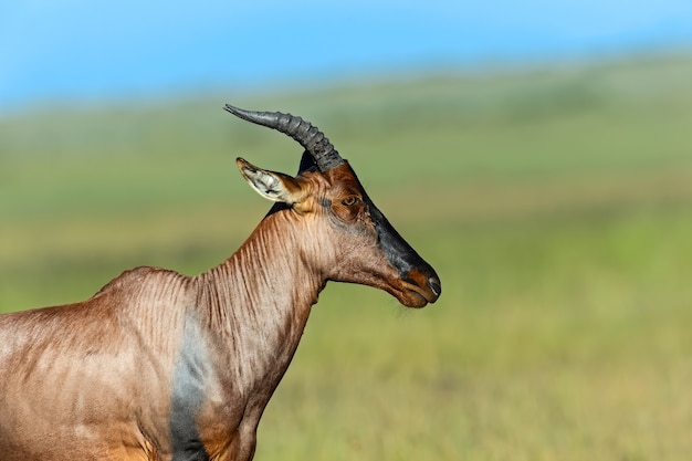 Antílope topi no parque nacional masai mara. quênia