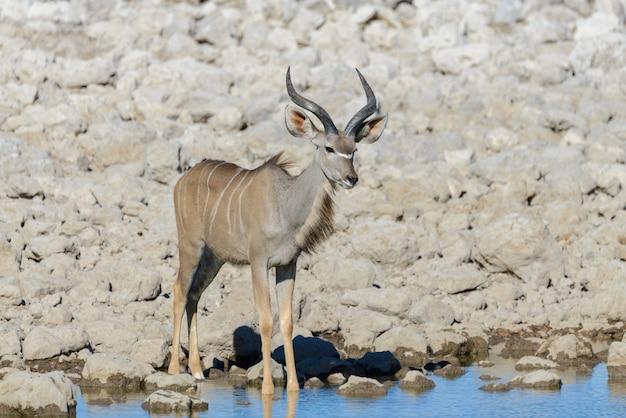 Antílopes selvagens de kudu na savana africana