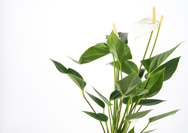 Antúrio branco. planta de casa em vaso em um fundo isolado. copie o espaço