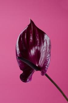 Antúrio vermelho escuro contra o rosa. cenário minimalista tropical