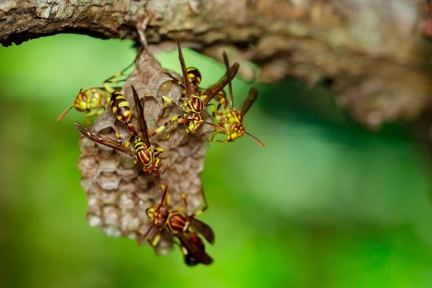 Apache wasps e vespa ninho no fundo da natureza