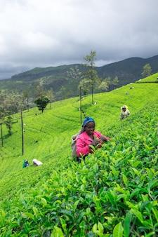 Apanhadora de chá feminina na plantação de chá em mackwoods,