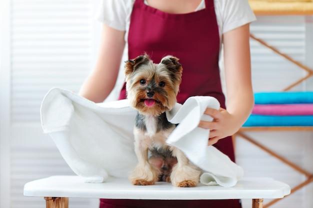 Aparador de barba envolvendo o cão em uma toalha após o banho
