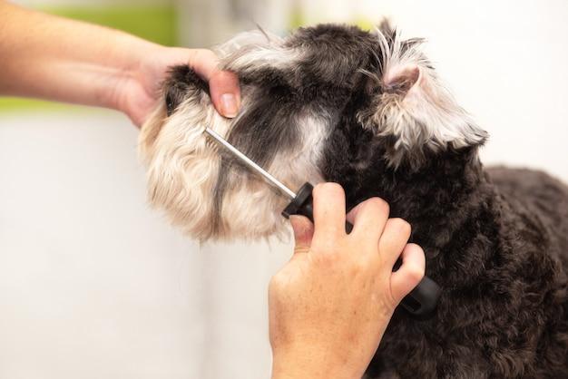 Aparador de barba profissional que penteia o cabelo do cão do schnauzer com um pente.