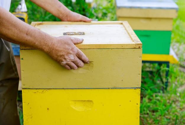 Apicultor abre a colméia para inspecionar a vida da família das abelhas