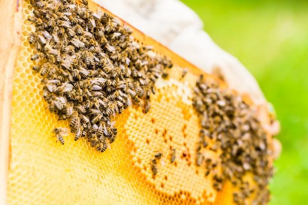 Apicultor, controlando, beeyard, e, abelhas