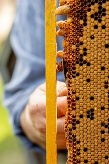 Apicultor cuida dos favos de mel