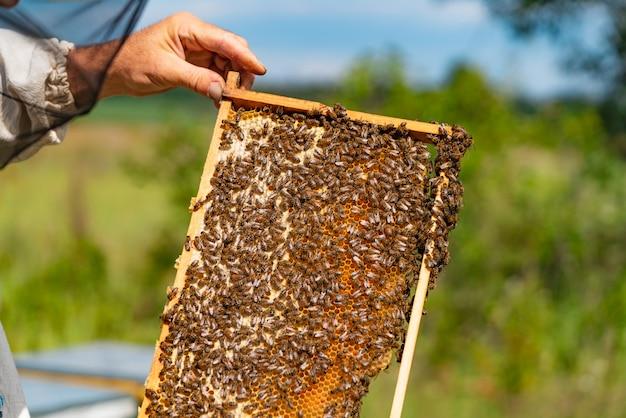 Apicultor examina abelhas em favo de mel.