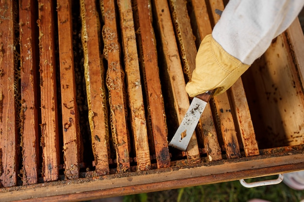 Apicultor puxa moldura de madeira com favo de mel da colméia usando a ferramenta apicultor