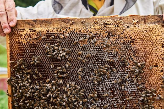 Apicultor segura uma moldura com favos escuros de criação e abelhas rastejando sobre eles
