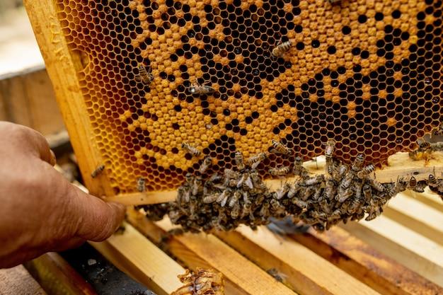 Apicultor tirando quadros com favos de mel