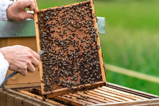 Apicultores inspecionam abelhas em uma moldura de cera em uma apicultura