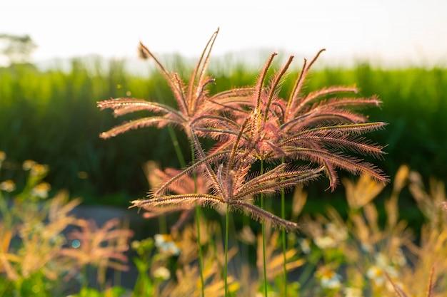 Aponte a grama bonita das flores do rosa da luz nos campos durante a manhã.