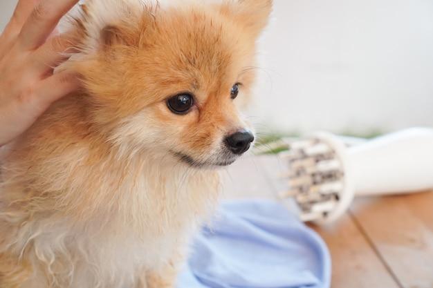 Após o banho do animal de estimação, a raça pomerânia ou cachorro pequeno procura algo