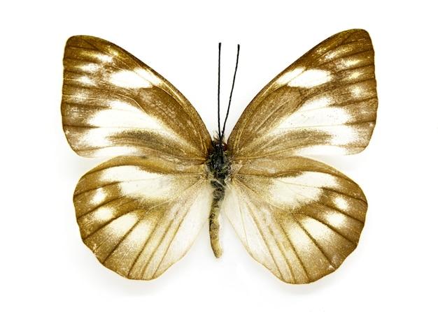 Appias libythea olferna borboleta em fundo branco