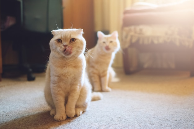 Apresentando dois gatos. adote um segundo gato.