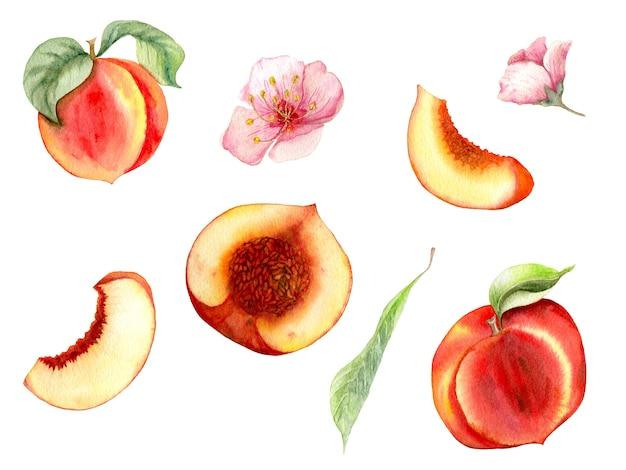 Aquarela com pêssegos desenhados à mão. diferentes tipos de peças.