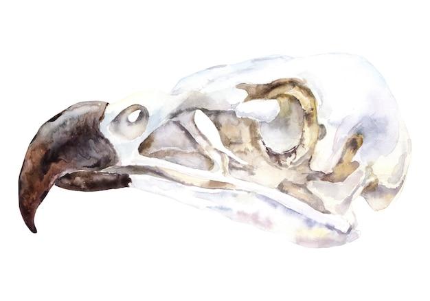 Aquarela de crânio animal. caveira águia