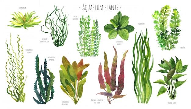 Aquarela de plantas de aquário