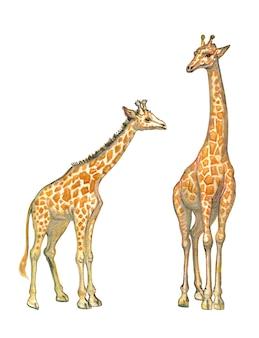 Aquarela handdrawn girafa africana família mãe e girafa bebê isolada no fundo branco