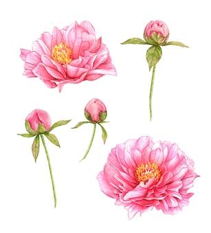 Aquarela rosa peônias isoladas.