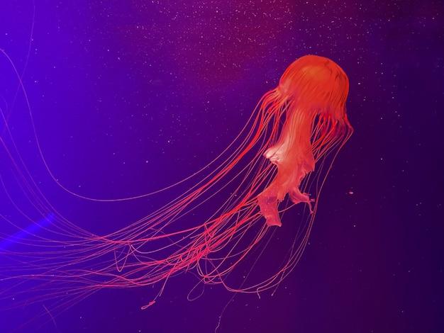 Aquário com água-viva, água-viva de néon brilhante ocen