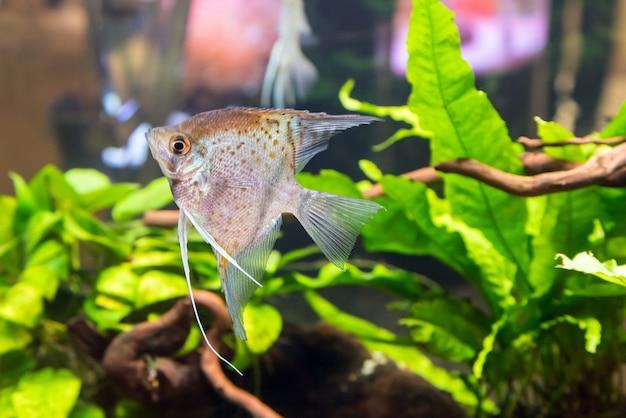 Aquário tropical de água doce com peixes e plantas verdes.