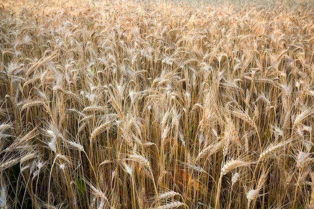 Aqueça o campo de trigo dourado colorido da colheita.