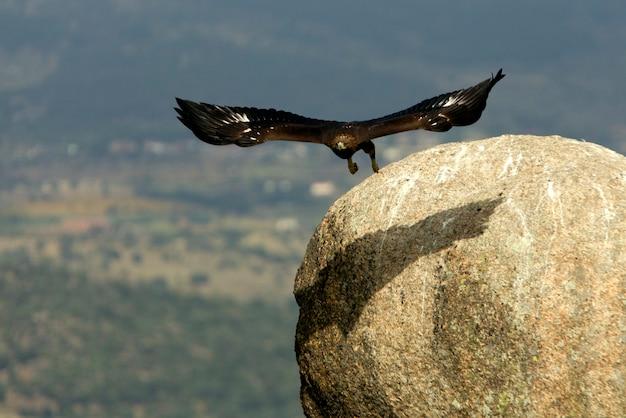 Aquila chrysaetos. águia dourada