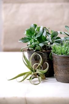 Ar tillandsia e diferentes plantas suculentas eonium, cactos em vasos de cerâmica de pé na mesa de mármore branco