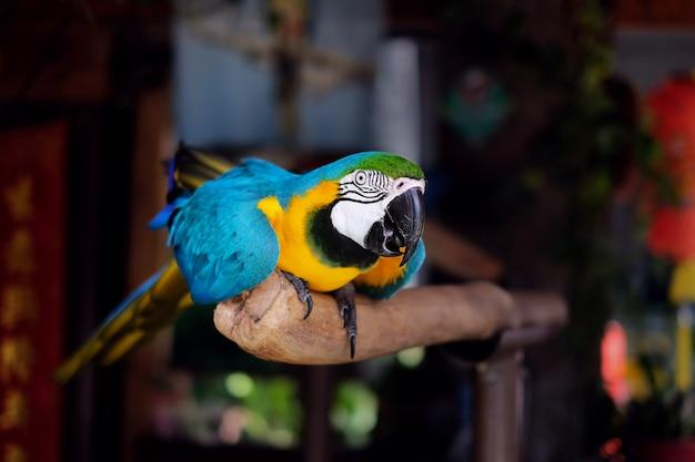 Ara papagaio, arara