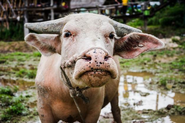 Arado de búfalo tailandês no campo de arroz para preparação de plantação