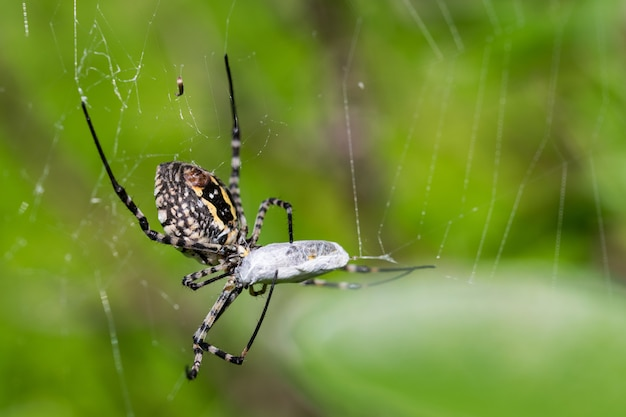 Aranha argiope banded em sua rede prestes a comer sua presa, uma refeição de mosca