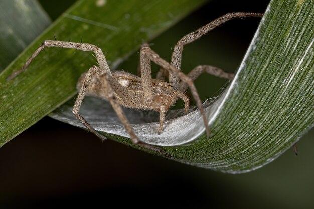 Aranha caranguejo corredor adulto fêmea da família philodromidae protegendo seus ovos