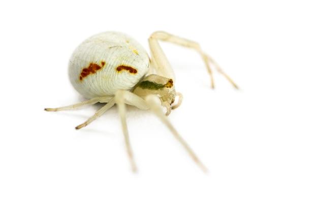 Aranha caranguejo dourado, misumena vatia em frente a uma superfície branca