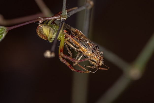 Aranha-caranguejo fêmea adulta da família thomisidae atacando um inseto adulto sem cheiro de planta da subfamília rhopalinae
