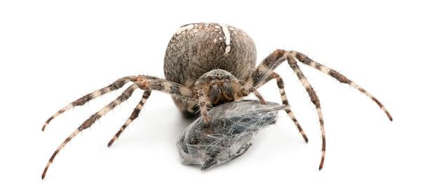 Aranha de jardim europeia, aranha diadema, aranha cruzada ou orbweaver cruzado, araneus diadematus, comendo uma mosca na frente de um fundo branco