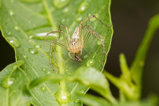 Aranha de jumper na folha verde com gota de água