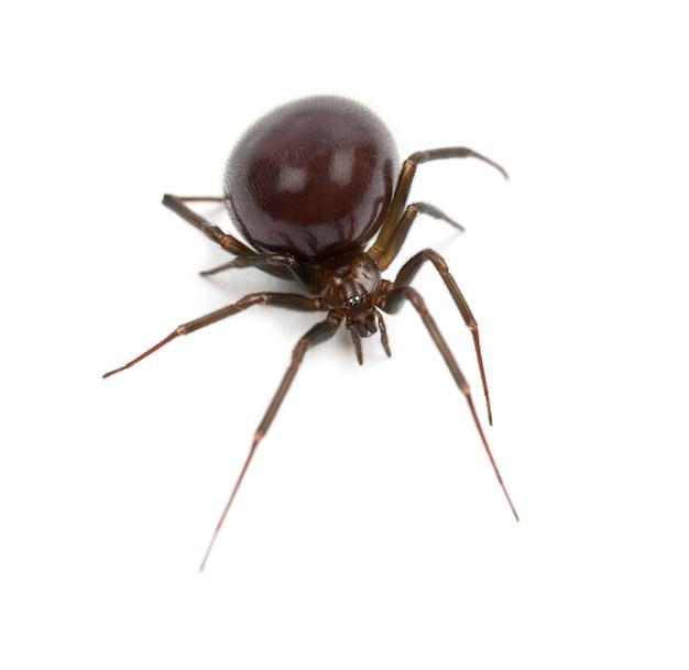 Aranha doméstica comum, parasteatoda tepidariorum, contra o espaço em branco