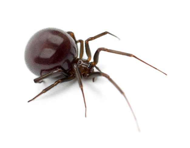 Aranha doméstica comum, parasteatoda tepidariorum, contra superfície branca