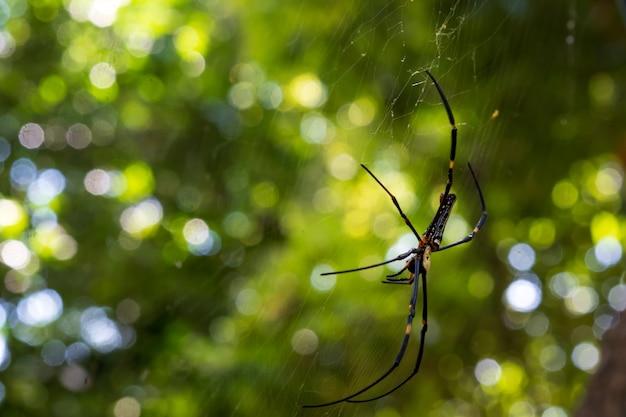 Aranha grande com pernas longas, corpo preto com manchas amarelas ajuda a eliminar insetos